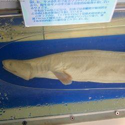 Frilled shark species.jpg