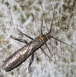 Giant Stonefly.jpg