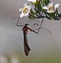 Hanging Scorpionfly.jpg
