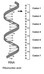 Codon - CreationWiki, the encyclopedia of creation science