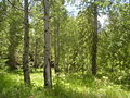 Trails end aspens.jpg