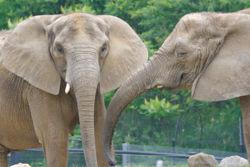 African elephant 1.jpg