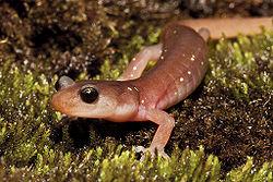 Salamander - CreationWiki, the encyclopedia of creation ...