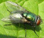 Fly green bottle diptera.jpg