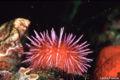 Strongylocentrotus purpuratus.jpg