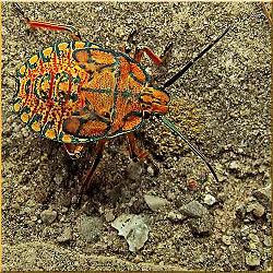 Apateticus Cynicus-Stink Bug.jpg