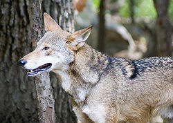 Red wolf 5.jpg