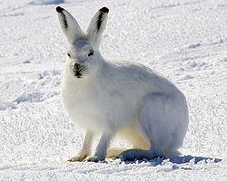 Arctic Hare.jpg