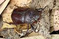 Female Rhinoceros Beetle.jpg