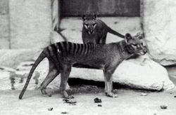 Thylacinus.jpg