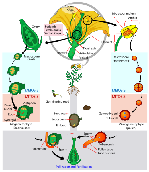 File:Angiosperm lifecycle.png