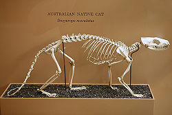 An Australian Native Cat&#39;s skeleton