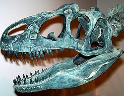 Allosaurus skull.jpg