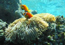 Anemonefish.jpg