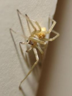 Cheiracanthium inclusum Sac Spider.jpg