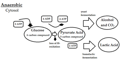 Anaerobic respiration.png