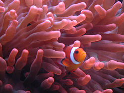 Rose Bubble Tip Anemone.jpg