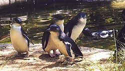 Group of Blue Penguins - Version Two.jpg