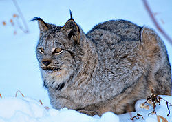 Canadian Lynx in the Winter.jpg