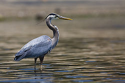 Great blue heron 2.jpg