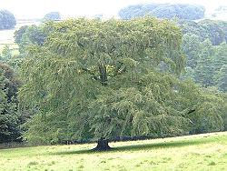 Beech tree (Fagus sylvatica).jpg