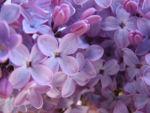 Lilac bush purple.jpg