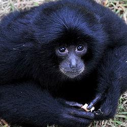 Cute gibbon.jpg