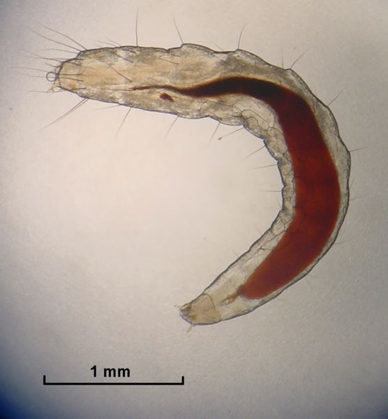 File:Flea larva.jpg
