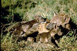 Hyena h.jpg