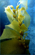 Sos06 kelp.jpg