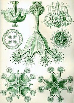 Haeckel Stauromedusae.jpg