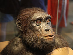 Model of the head and shoulders of a Sahelanthropus tchadensis, on display in the Hall of Human Origins in the Smithsonian Museum of Natural History in Washington, D.C.