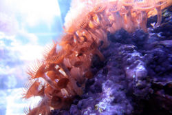 Hundreds of developing polyps