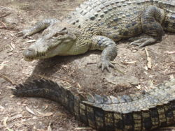 Two Estuarine Crocodiles.jpg