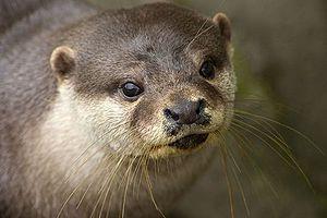 European Otter.jpg