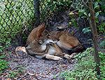 Red wolf 4.jpg