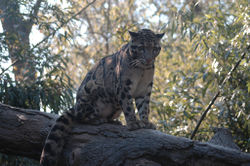 Picture of clouded leopard.jpg