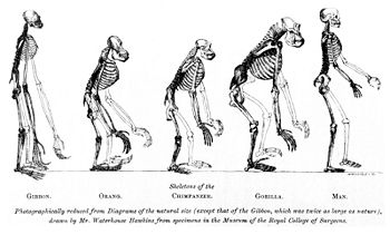 human evolution - creationwiki, the encyclopedia of creation science, Skeleton