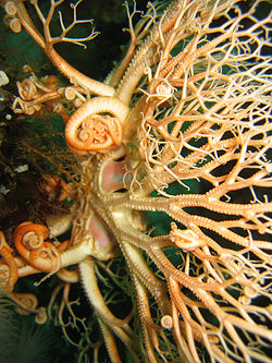 Brittle star asexual reproduction in fungi