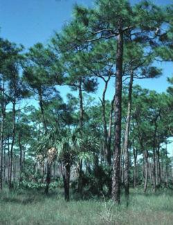 Pinus elliottii densa.jpg