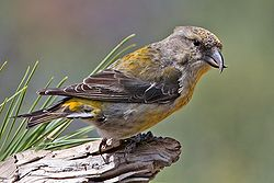 Red Crossbill -Female.jpg