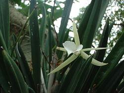 Vanilla orchid 2.jpg