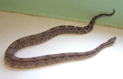 Boa constrictor 4.jpg