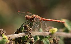Common darter des.jpg