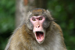 Japanese Macaque Angry.jpg