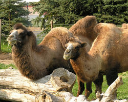 Group of Bactrian Camels.jpg