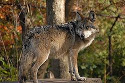 Mexican Wolf 2.jpg