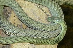 800px-Dendroaspis viridis.jpg