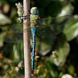 Emperor dragonfly perching.jpg