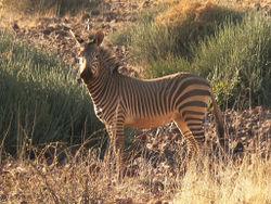 Mountain Hartman Zebra.jpg